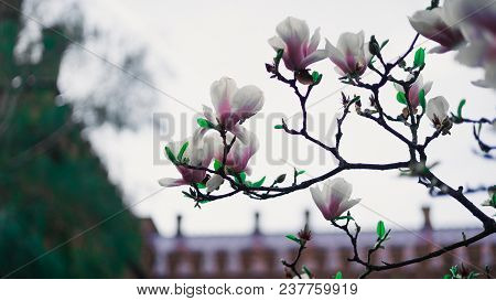 Beautiful Trees Magnolia In Bloom With Beautiful Big Flowers On University Background