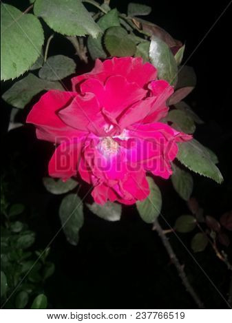 Flower In Garden At  Summer Or Spring Day. Flower For Postcard Beauty Decoration And Agriculture Con