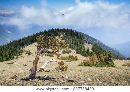 Bristlecone Pine On A Mountain Top In The Colorado Rocky Mountains