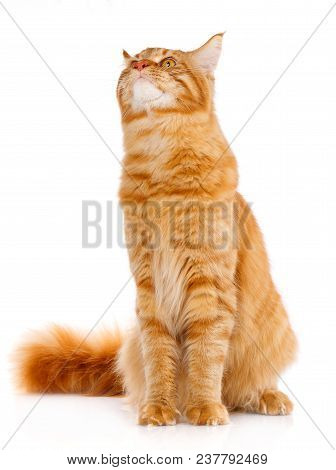 Animal, Cat, Pet Concept - Red Maine Coon Cat On A White Background