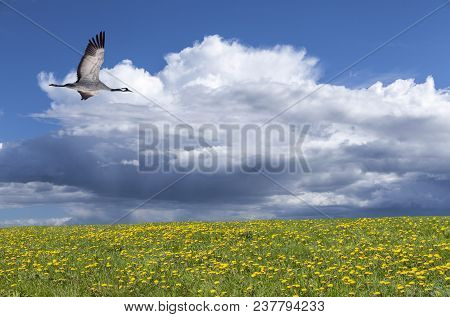 View Of A Crane In Flight In Summertime. Bright Sunshine., Flowers And Some Shower In The Background