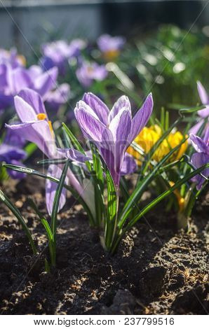 Plain Purple Crocus In Early Spring Sunlight. Beautiful Flowers