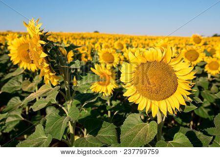 Sunflower Field Landscape On A Background Sunset