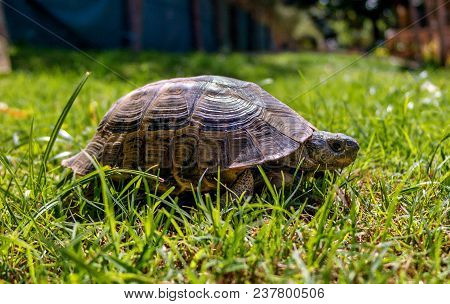 Mediterranean Turtle Walking In The Grass. Go Directly To The Photographer.