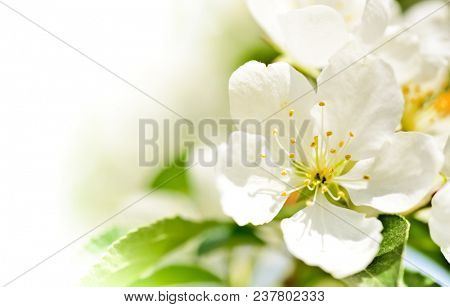 Fresh apple flowers, spring blossom macro background with copy space.