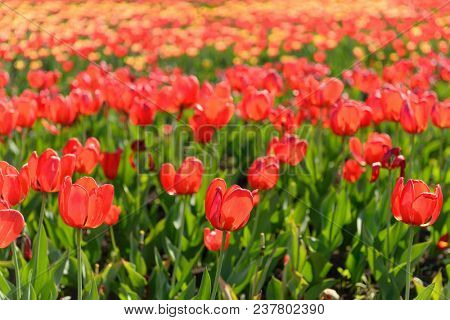 Many spring tulips in the garden