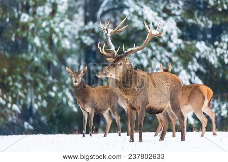 Winter Wildlife. Group Of Noble Deers Cervus Elaphus In Winter Forest. Selective Focus.