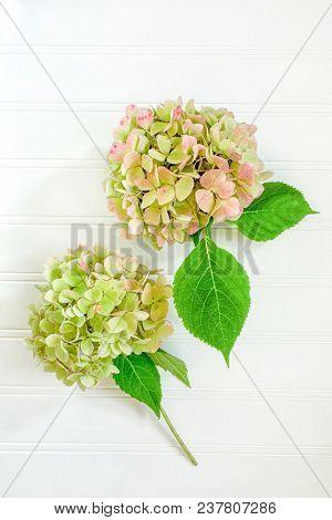 Garden hydrangea flowers on a wooden background.