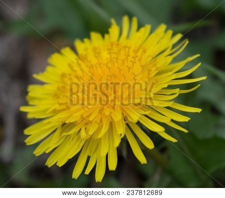 Close Up View Of The Yellow Ray Florets On A Dandelion Head.