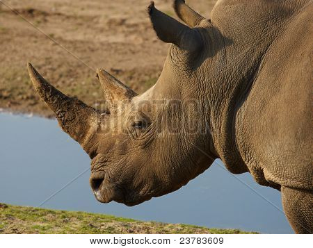 Closeup portrait of a White Rhinoceros along the waterfront poster