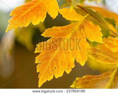 A Leaf Of A Bladder Senna Shrub (colutea Arborescens)