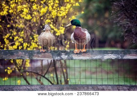 A Pair Of Mating Mallard Ducks Perched On A Fence With A Forsythia Bush In The Background.