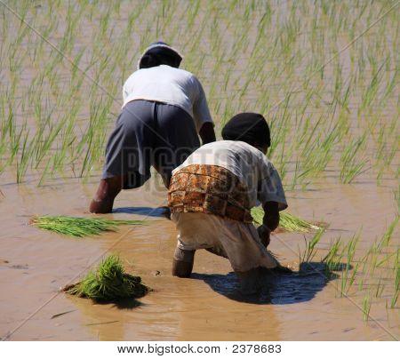Women Planting In The Paddy Fields