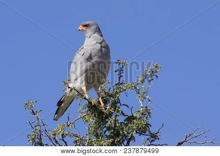 Male Pale Chanting Goshawk Sitting In A Tree Against The Blue Kalahari Sky