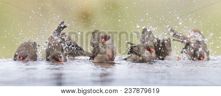 Small And Beautiful Common Waxbill Having A Bath In Water Of A Pond