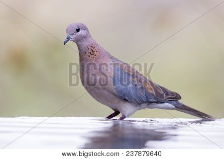 Mourning Dove Sitting On A Rock At A Waterhole In The Kalahari