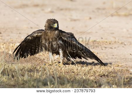 Wet Booted Eagle Sit On The Ground To Dry Out After A Bath Before It Take Off Again