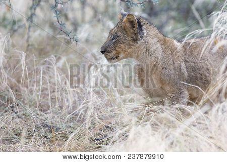Small Lion Cub Walking Through Wet Grass After Some Rain