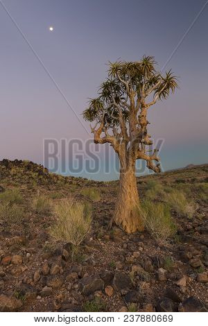 Landscape Of A Quiver Tree With Pastel Sky And Moon In The Dry Desert