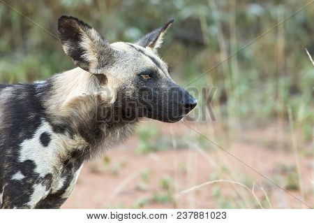 Portrait Of A Wild Dog While On A Hunt In The African Bash