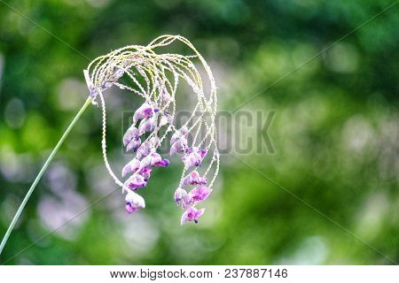 Purple Waterplant Flower Blossom And Hanging With Branch,bokeh Light And Green Nature Background At