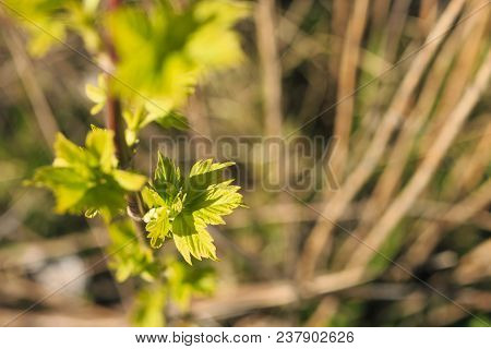 Nature Wakes Up From Winter Sleep. New Leaves In The Spring Thrive On Shrubs