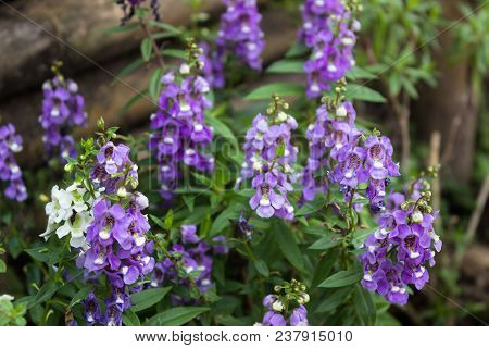 Ultra Violet Flowers In The Garden, Stock Photo