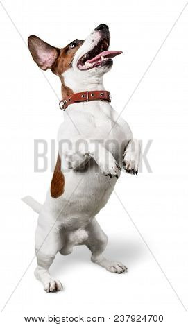Animal Canine Pet Jack Russell Terrier Dog Dog Trick