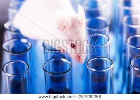 Mouse Animal Laboratory Mouse Lab Mouse Close-up Closeup Mammal