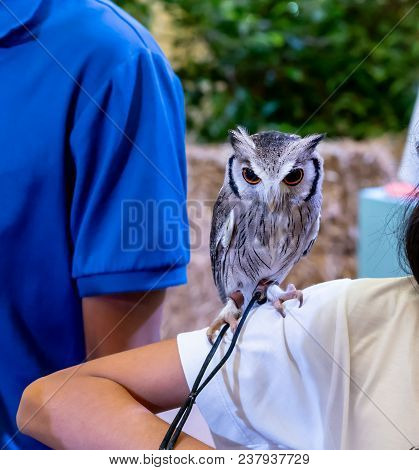 A White Faced Scops Owl Standing On Shoulder