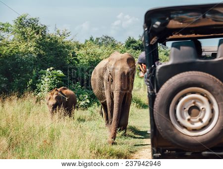 Elefants On Safari In National Nature Park Udawalawe In Sri Lanka