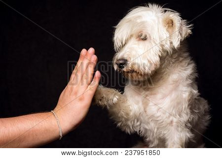 Friendship And Devotion Of White Schnauzer Dog On Dark Background, The Dog Gives Five With His Paw T