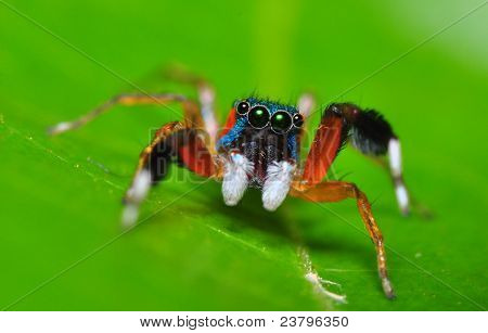 colourful jumper spider