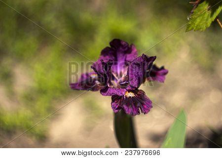 Low-bred Maroon Spring Irises In The Garden. Growing Burgundy Fl