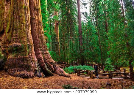 Tourist Looks Up At The General Sherman Tree In Sequoia National Park, California. This Tree Is The