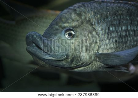 Cyphotilapia Frontosa Or Lake Tanganyika Queen Cichlid (earlier Named Paratilapia Frontosa) Is A Ver