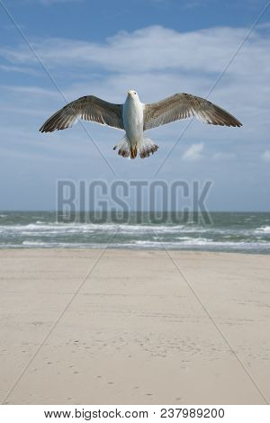 Big seagull with huge beak and wings flying or soaring over the lake poster