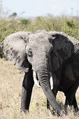 male African elephant Elephantidae in the bush of the masai reserve in kenya africa poster