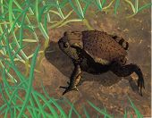 Toad  crawling in muddy and grassy field poster