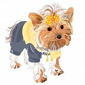 Yorkshire terrier red color with a yellow bow in a yellow jacket and black pants poster