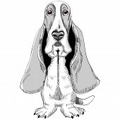 sketch of the dog Basset Hound breed sitting poster