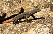 Dark chuckwalla lizard with an orange tail is sunning on a rock next to an ancient petroglyth in Arizona. poster
