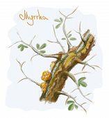 Commiphora myrrha tree with resin. Watercolor imitation. Vector illustration. poster