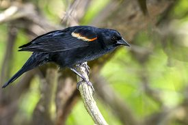Red-winged Blackbird,agelaius Phoeniceus Is A Passerine Bird Of The Family Icteridae