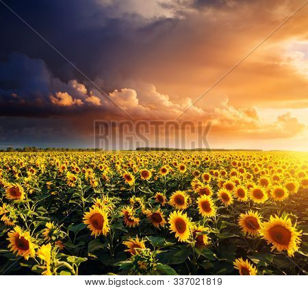 Bright yellow sunflowers glow in the sunlight. Location place of Ukraine, Europe. Blooming field closeup. Photo of ecology concept. Perfect natural wallpaper background. Discover the beauty of earth.