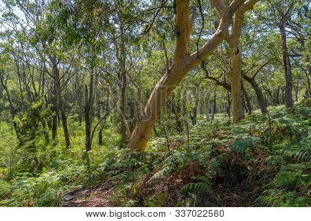Australian Eucalyptus Evergreen Forest With Lush Green Foliage At Sunny Day. Australian Summer Fores