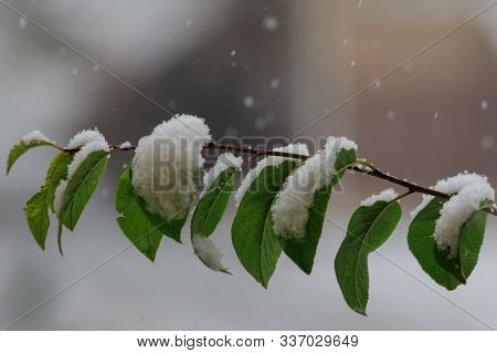 Winter Came, The First Snow On The Green Leaves Of A Tree. The Beauty Of The Sudden Transition From