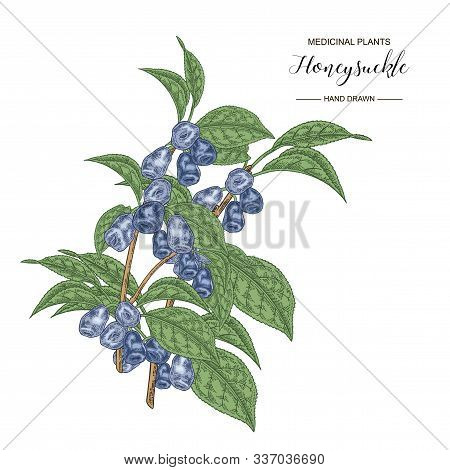 Honeysuckle Branch. Hand Drawn Berries And Leaves Of Lonicera Japonica. Medical Plants Collection. V