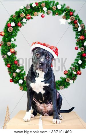 Staffordshire Terrier Dog In Santa Hat On The Background Of A Christmas Wreath. Snow Effect. Merry C