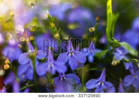 Bright Blue Ultramarine Lobelia Flower In The Sun Macro